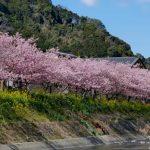 河津桜まつりの渋滞を避ける方法、駐車場や宿泊は‥