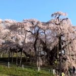 三春滝桜(福島県)の地図(googlemap)とアクセス、開花状況