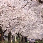 長瀞桜の開花状況は宝登山ライブカメラで確認できるの?