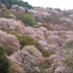 吉野山・中千本の桜、ライブカメラで開花状況