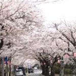 伊豆高原の桜並木!ライブカメラで開花状況を確認してみた