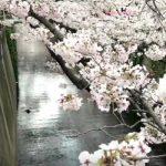 目黒川(桜並木)のライブカメラ開花状況と最寄駅
