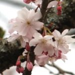 伊豆のお花見ライブカメラ!さくらの里の開花状況